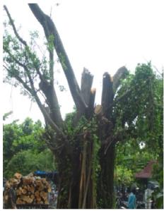 WAJAH BARU – Semoga ini adalah pohon terakhir yang ditebang.