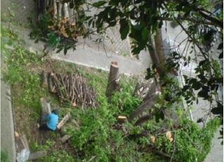 GUGUR LAGI -  Proses penebangan pohon ficus (Ficus benjamina) di sebelah selatan gedung Fakultas Sains dan Teknologi UIN SuKa yang ditebang, Jumat (1/3/2013).