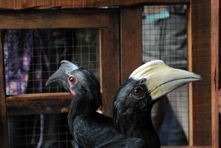 dua-ekor-burung-enggang-khatulistiwa-jenis-dada-putih-berada-_160627110744-560.jpg