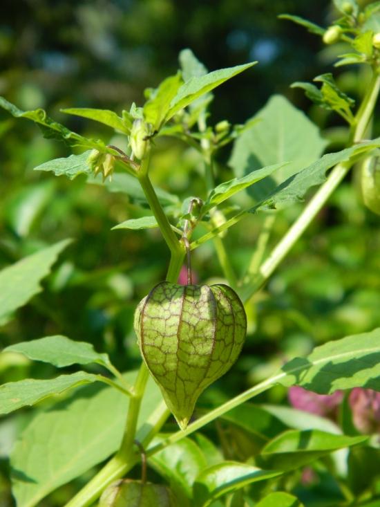 Physalis angulata